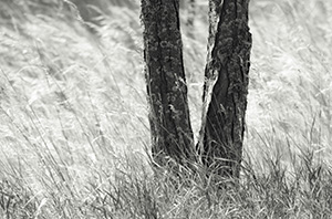 A tree is surrounding by native prairie grass blowing in the wind at Chalco Hills Recreation Area in Nebraska. - Nebraska Black and White Photograph