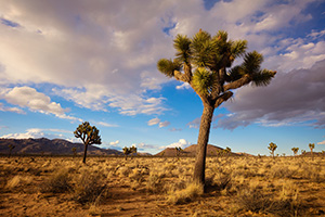 Warm afternoon sun illuminates the desert landscape which is dotted by the unique Joshua Trees in Joshua Tree National Park. - California Landscape Photograph