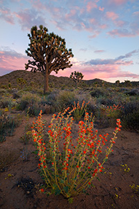 Several days of rain bring much needed moisture to Joshua Tree National Park.  After these storms wildflowers bloom abundantly throughout the landscape. - California Landscape Photograph