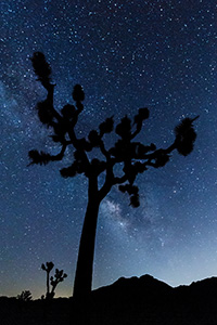 The Milky Way flows across the sky above a Joshua Tree in Joshua Tree National Park, California. - California Landscape Photograph