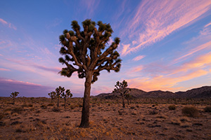 Pinks and purples fill the sky as the last of the trees and landscape radiates the last warm hues of sunset in Joshua Tree National Park. - California Landscape Photograph