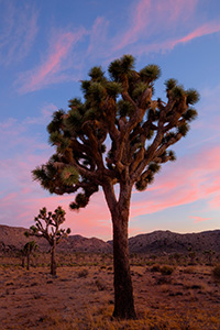 Joshua tree was given its name by a group of Mormons  who crossed the Mojave Desert in the mid-19th century. The unique shape of the trees was reminiscent of Joshua, a Biblica figure who in a story reaches his hands up to the sky in prayer. - California Landscape Photograph
