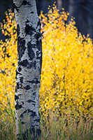 Aspen leaves burst with autumn warm colors in a grove on the west side of Rocky Mountain National Park. - Colorado Nature Photograph