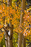 The patterns and colors of an aspen tree in the fall in Colorado. - Colorado Photograph