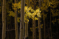 A single patch of aspen leaves are lighted by the filtered sun. - The_Midwest Photograph