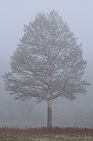 A single aspen emerges from the thick fog in Rocky Mountain National Park, Colorado. - Colorado Photograph