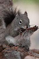 An Abert's Squirrel eats a pine cone on a branch in Rocky Mountain National Park. - Colorado Photograph