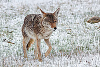 A coyote, tired from a recent altercation with an elk herd slinks away as snow falls in Rocky Mountain National Park. - Colorado Wildlife Photograph