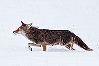 A coyote hunts her prey in the freshly fallen snow in Rocky Mountain National Park. - Colorado Wildlife Photograph