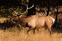 Fresh from a spar, the winner bugles his victory, the sound echoing throughout the valley. - Colorado Photograph