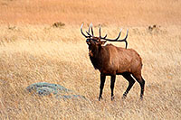 Protecting his large harem, this bull elk bugles while patroling, asserting his dominance. - Colorado Photograph