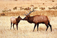 A shared moment between a bull and a cow elk in Rocky Mountain National Park. - Colorado Photograph