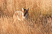 A coyote in Rocky Mountain National Park pauses briefly to survey his surroundings. - Colorado Photograph