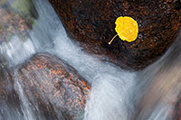 A lone fallen autumn aspen leaf grasps to a rock as the Big Thompson cascades by. - Colorado Photograph
