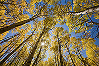 With only an occasional rustle, sunlight streams down on the forest landscape causing the aspen trees to glow with a golden brillance during the autumn in Colorado. - Colorado Photograph