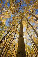 The sun streams through a grove of golden aspens in the fall in Colorado. - Colorado Photograph