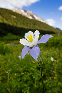 A lone Columbine grows in a lush, green valley in the San Juan mountains in southwestern Colorado. - Colorado Nature Photograph