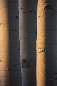 A scenic nature photograph of aspens glowing in the morning sun in the Maroon-Snowmass Wilderness, Colorado. - Colorado Nature Photograph