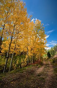 An old abandoned road curves around some autumnal aspens to an unknown destination on Pike's Peak. - Colorado Photograph