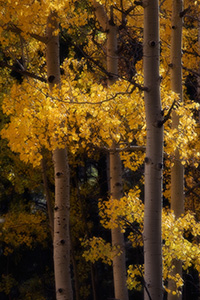 The leaves of the autumn golden aspens rustle in the warm afternoon breeze. - Colorado Photograph