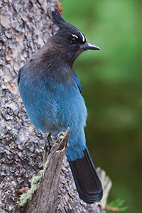 A Steller's Jay is a common sight (and their chirp a common sound) among the forests and trees in Rocky Mountain National Park. - Colorado Photograph