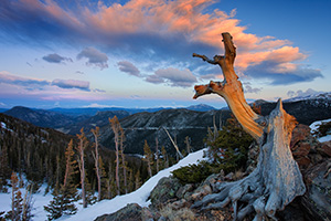 An old tree, barren from the elements and time stands witness near the tundra at Rocky Mountain National Park, Colorado. - Colorado Photograph
