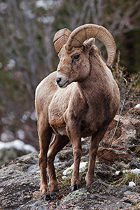 A big horn sheep watches high from the rocks near Endovalley in Rocky Mountain National Park, Colorado. - Colorado Landscape Photograph