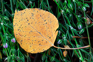 An aspen leaf lies on a bed of green and purple foliage near the Beaver Ponds in Rocky Mountain National Park. - Colorado Photograph