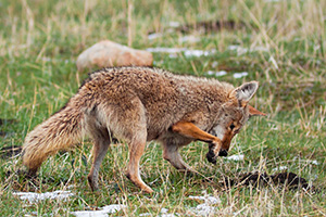 A coyote hunts for breakfast in Moraine Park in Rocky Mountain National Park. - Colorado Wildlife Photograph