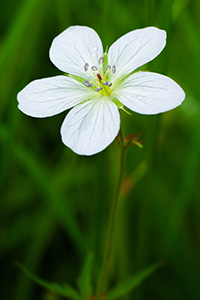 A Richardson Geranium blooms near the Beaver Ponds on the western side of Rocky Mountain National Park in Colorado. - Colorado Flower Photograph