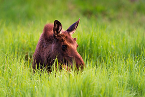 In the Kawuneeche Valley in western Rocky Mountain National Park, a young bull munches on the tall grass. - Colorado Wildlife Photograph Photograph