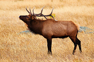 A bull elk bugles, the sound echoing throughout Moraine Park in Rocky Mountain National Park. - Colorado Photograph