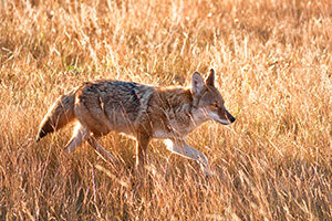 The sun had just crested the eastern mountain range when a coyote appeared and raced through Moraine Park in Rocky Mountain National Park, hunting his next meal. - Colorado Photograph