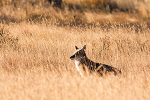 After a quick meal, a wild coyote pauses to bask in the morning sunlight. - Colorado Photograph