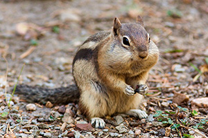 A Colorado Chipmunk pauses for an instance before continuing to forage for the upcoming winter. - Colorado Photograph