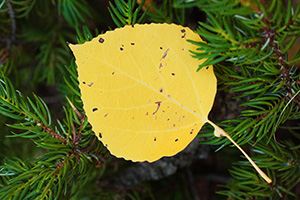 An aspen leaf rests on the branch of an evergreen on the Lumpy Ridge Trail, the yellow of the leaf contrasting with the green foliage. - Colorado Photograph