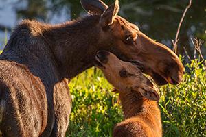 Near the end of the day, in the marshes of the Kawuneeche Valley in western Rocky Mountain National Park, a Moose calf and cow nuzzle in the setting sun before getting ready to bed for the night. - Colorado Wildlife Photograph Photograph
