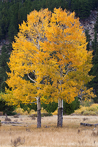 In 2011 I photographed this same pair of aspens seemingly huddled together in a snow storm.  A little over a year later I returned to the same spot and captured these same aspens in all their autumnal glory. - Colorado Photograph