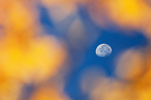 The moon is seen through the branches of an autumn aspen tree on the trail down from Beirstadt Lake in the fall in Rocky Mountain National Park. - Colorado Photograph