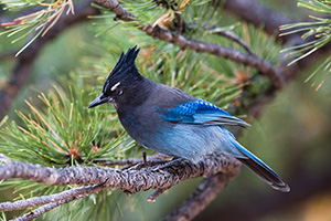 A Steller's Jay rests on a branch near a picnic area in Rocky Mountain National Park. - Colorado Photograph