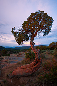 The last bits of sun illuminate this juniper pine at sunset a fiery red while twilight settles in the canyon. - Colorado Landscape Photograph