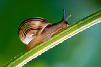 A snail climbs a stalk on a warm, late September afternoon near the wetlands at Fontenelle Forest. - Nebraska Close-Up Photograph