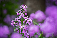 At Schramm State Park Recreation Area, beautiful lavendar Dames Rocket grow across the forest floor. - Nebraska Landscape Photograph
