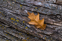 An autumn oak leaf rests on the trunk of a fallen tree in the forest of Chalco Hills Recreation Area. - Nebraska Close-Up Photograph