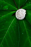 A snail shell rests on the leaves of the forest foliage at Schramm State Recreation Area. - Nebraska Photograph