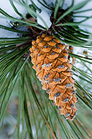 In the cold of the winter, a pine cone hangs from a snow laden tree. - Nebraska Photograph