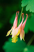 A singular Columbine grows in the shade of a tree at Schramm State Recreation Area. - Nebraska Photograph