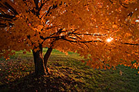 A maple tree bursts forth into glorious autumn colors while the setting sun shines through the leaves. - Iowa Photograph