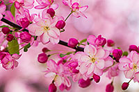 A branch of spring blossoms on a tree at Schramm State Recreation Area. - Nebraska Flower Photograph