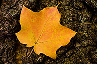 At Arbor Lodge State Park in Nebraska City, a red speckled brillant yellow maple leaf rests quietly in between wind gusts. - Nebraska Photograph